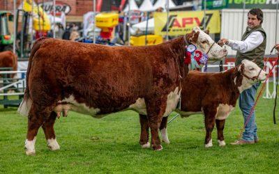 Vaca Polled Hereford de Sociedad Ganadera San Salvador en el podio del mundo